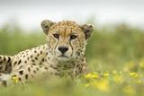 Cheetah at Ngorongoro Conservation Area  Tanzania