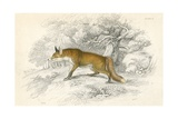 Common or Red Fox