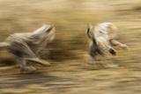 Cheetah Cubs Playing at Ngorongoro Conservation Area  Tanzania