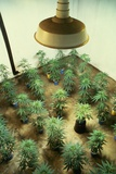 Marijuana Plants under Grow Light