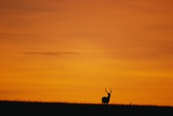 Impala Silhouette at Sunrise