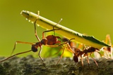 Leafcutter Ants  Costa Rica