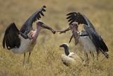 Marabou Storks  Ngorongoro Conservation Area  Tanzania