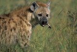 Spotted Hyena Feeding on Thomson's Gazelle