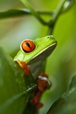 Red Eyed Tree Frog  Costa Rica