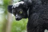 Indri  Andasibe National Park  Madagascar