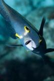 French Angelfish  Bonaire