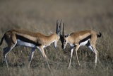Thomson's Gazelles Sparring