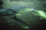 School of Sockeye Salmon Spawning