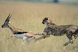 Cheetah Chasing Thomson's Gazelle