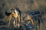 Blackbacked Jackals Eating Gazelle