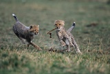 Cheetah Cubs Playing with Carcass