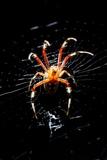 Spider  Kirindy Forest Reserve  Madagascar