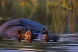 Hippopotamus Swimming in the Khwai River