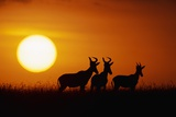 Topi Antelope Silhouettes at Sunrise