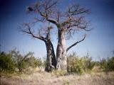 Baobab  Nxai Pan  Botswana
