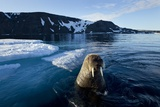 Walrus  Svalbard  Norway