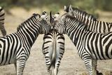 Plains Zebra  Chobe National Park  Botswana