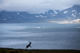 Reindeer  Svalbard  Norway