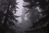 Misty and Moody Tree Design  Redwood National Park