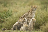 Cheetah and Cubs in the Rain