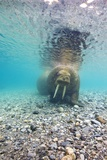 Underwater Walrus  Svalbard  Norway