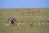 Herd of Impalas and Plains Zebras