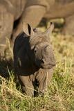 Baby Black Rhino  Sabi Sabi Reserve  South Africa