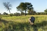 White Rhinoceros  Sabi Sabi Reserve  South Africa