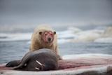 Polar Bear Feeding on Walrus  Hudson Bay  Nunavut  Canada