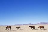 Pack of Wild Horses in Namib Desert