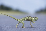 Flap-Necked Chameleon Runs across a Road