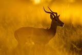 Impala  Moremi Game Reserve  Botswana