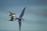 Arctic Terns  Hudson Bay  Canada