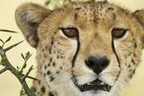 Cheetah  Ngorongoro Conservation Area  Tanzania