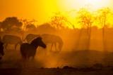 Plains Zebra  Makgadikgadi Pans National Park  Botswana