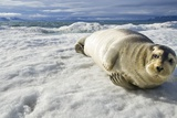 Bearded Seal  Svalbard  Norway