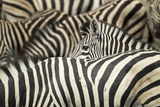 Plains Zebra, Chobe National Park, Botswana Papier Photo par Paul Souders