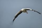 White Stork  Ngorongoro Conservation Area  Tanzania