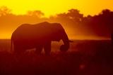 Bull Elephant  Moremi Game Reserve  Botswana