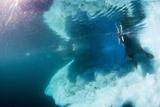 Underwater View of Walrus  Hudson Bay  Nunavut  Canada