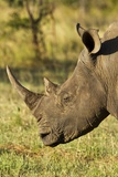 White Rhino  Sabi Sabi Reserve  South Africa