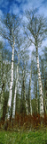 Birch Trees in a Forest  Us Glacier National Park  Montana  USA