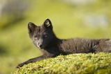 Arctic Fox  Svalbard  Norway