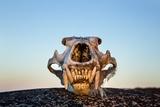 Polar Bear Skull  Hudson Bay  Nunavut  Canada