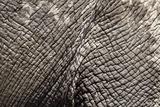 Elephant Skin  Makgadikgadi Pans National Park  Botswana