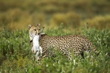 Cheetah and Hare