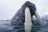 Walrus  Svalbard  Norway