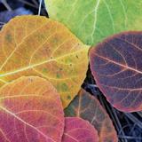 Aspen Fall Colors  Sierra Nevada