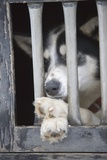 Sled Dog Resting in Kennel before 2005 Iditarod Race